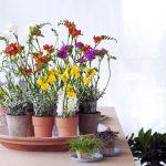 Фото 92: Выращивание фрезии дома
