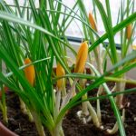 Фото 65: Выращивание фрезии в горшке
