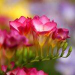 Фото 30: Цветы фрезии