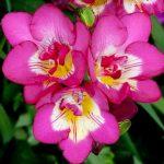 Фото 45: Фрезия розово-пурпурная