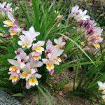 Фото 24: Фрезия в саду фото