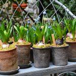 Фото 36: Выращивание гиацинтов с мхом