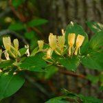 Фото 30: Желтые цветы жимолости