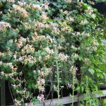 Фото 38: Соцветия жимолости Каприфоли