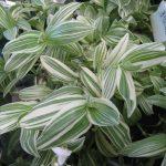 Фото 52: Листья традесканции белоцветковой
