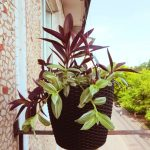 Фото 102: Выращивание традесканции на балконе