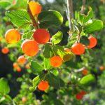 Фото 45: Оранжевые ягоды татарской жимолости