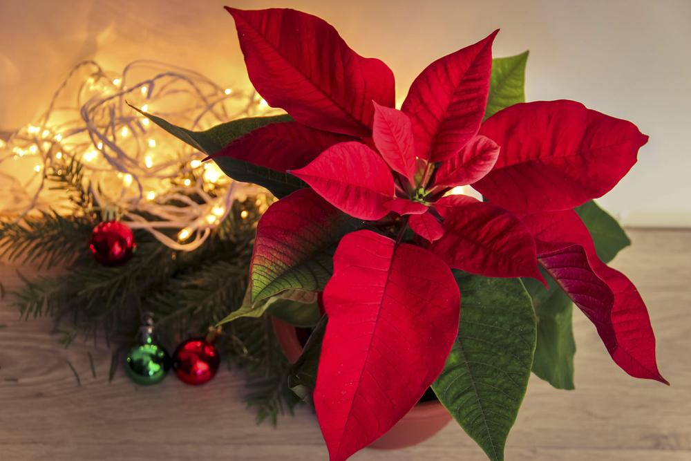 Пуансеттия рождественская