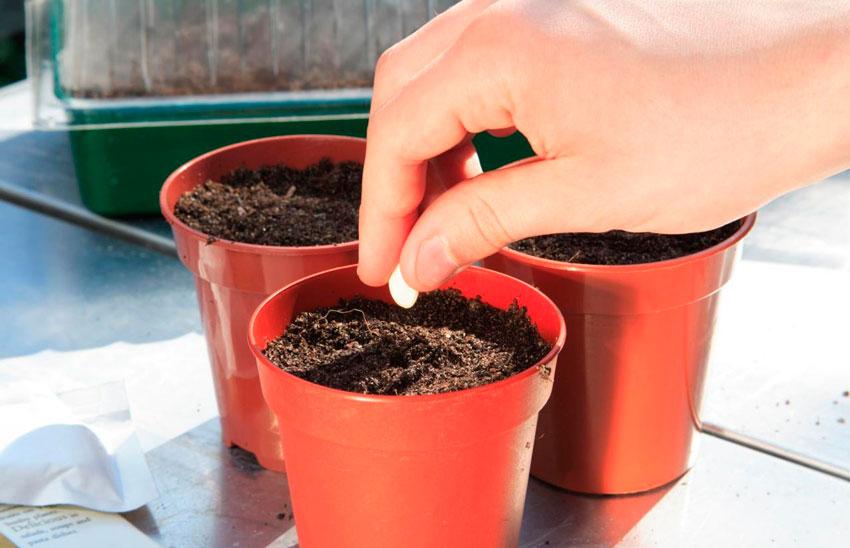 Фуксия выращивание из семян когда сажать 54