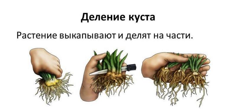 Принцип размножения делением куста