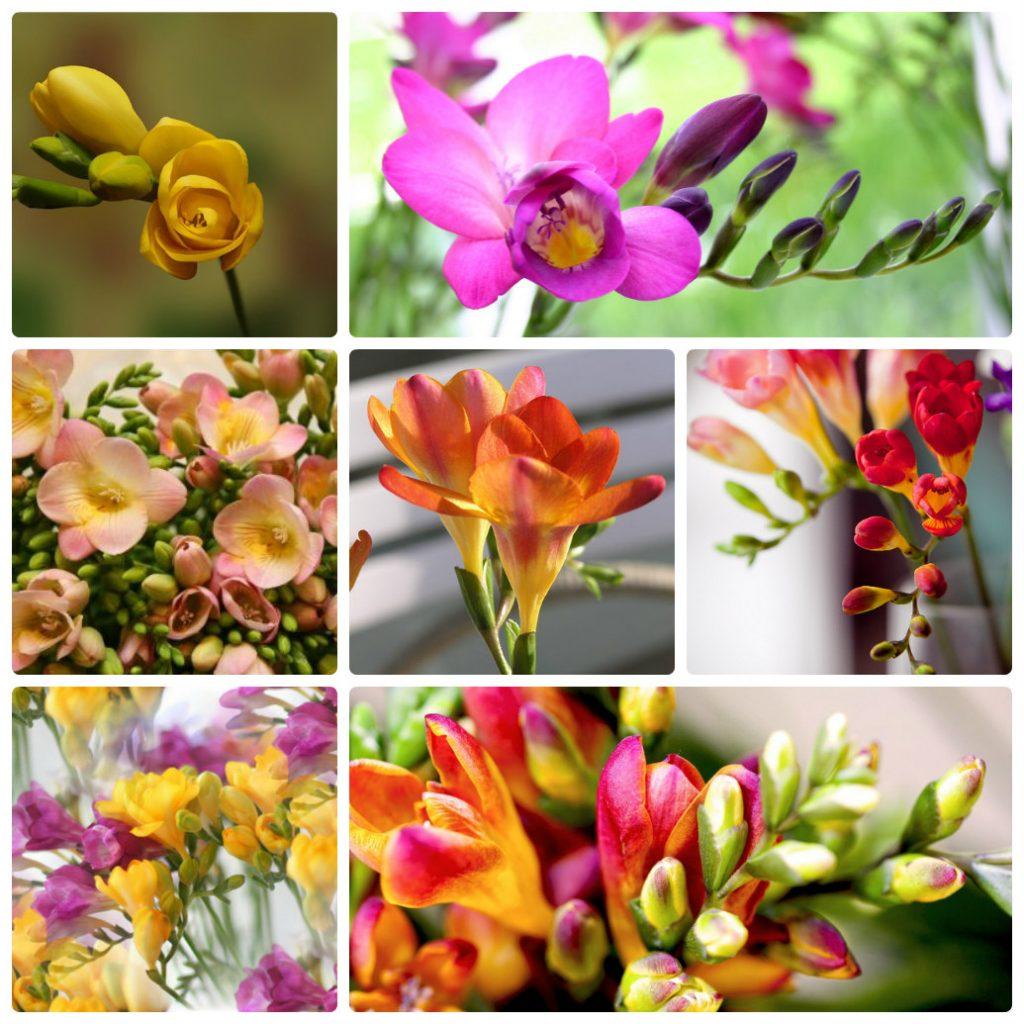Фрезия фото цветов