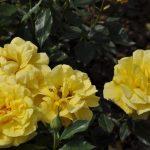 Фото 108: Роза фрезия фото и описание