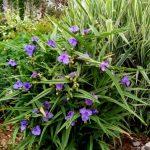 Фото 24: Традесканция садовая фото