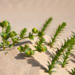 Фото 136: Молочай в пустыне