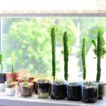 Фото 105: Выращивание молочая треугольного на окне