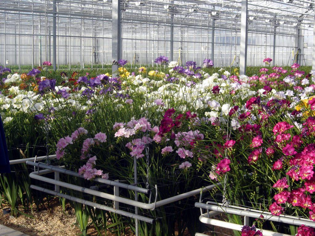 Выращивание в домашних условиях рододендрон 4