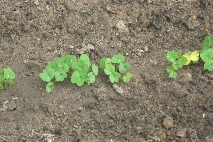 Рассадное выращивание из семян настурции