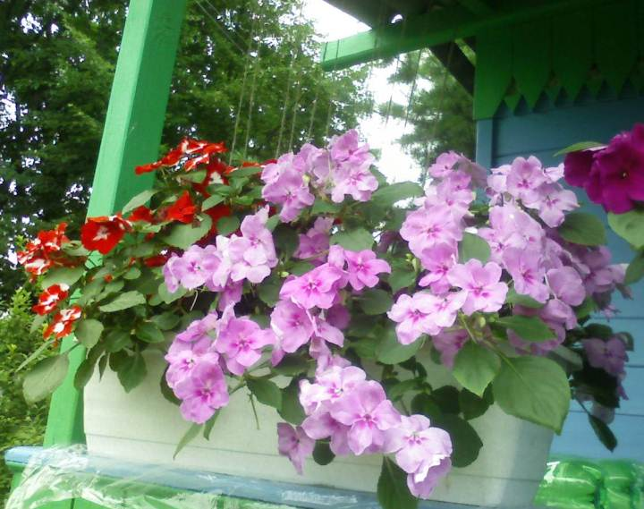 выращивание бальзамина