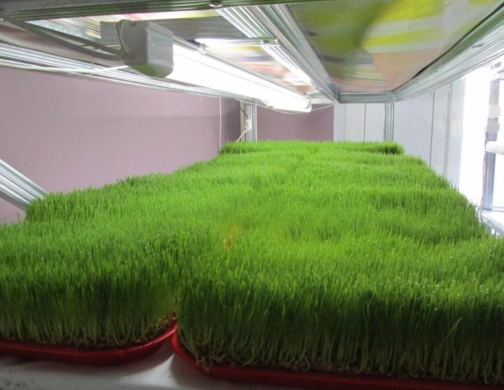 Сколько вырастает с квадратного метра зеленого лука