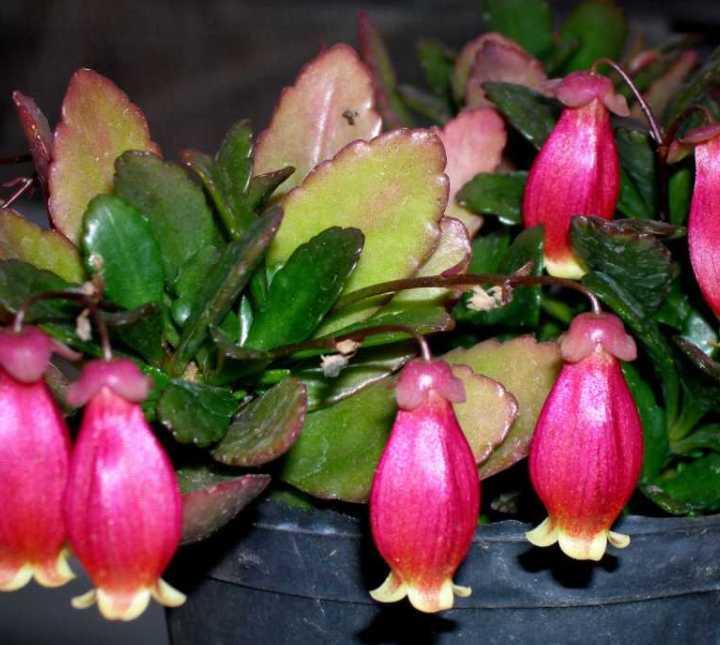 Разнообразие типов цветения каланхоэ