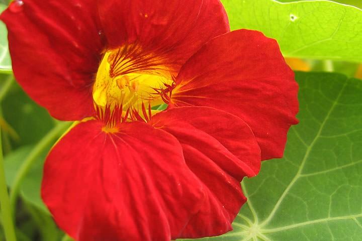 настурция лекарственное растение