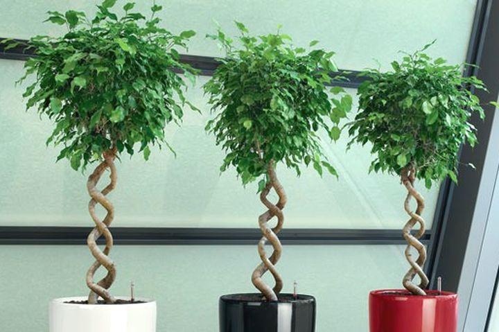 растения уход за фикусами в домашних условиях