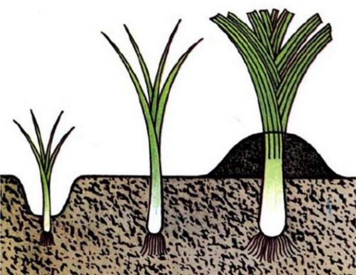 как сажать лук порей