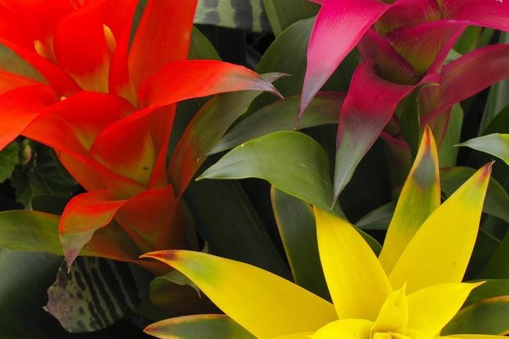 цветы гузмания