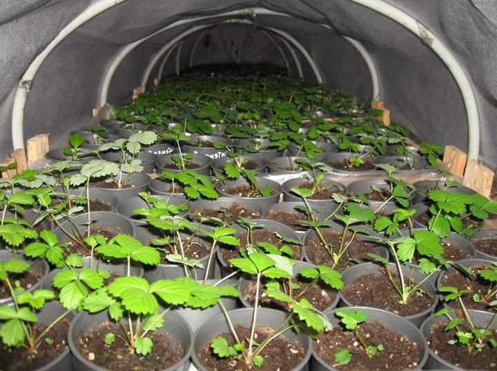 Выращивание земляники из семян в микротепличке