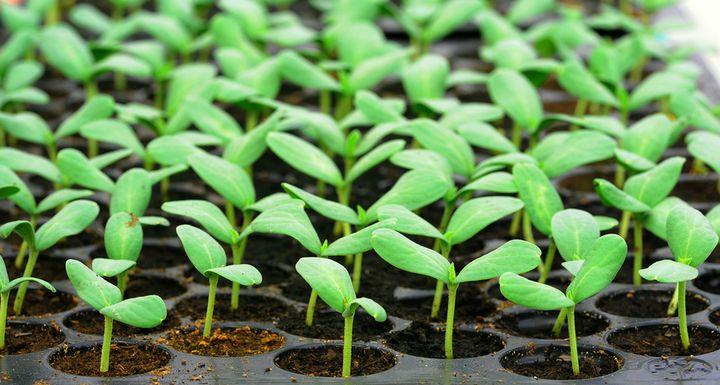 Посадка семян без пикировки