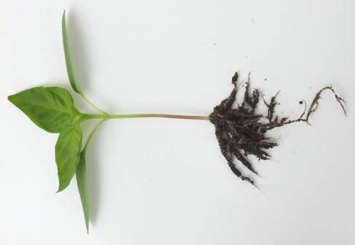 Вид рассады перца с корневой системой