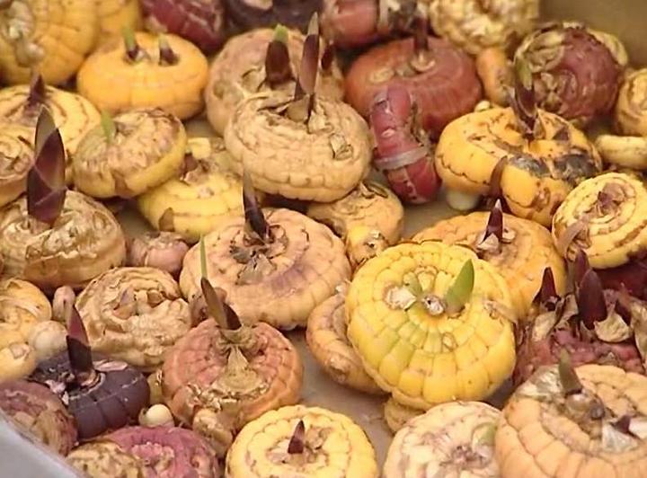 Как правильно выбрать луковицу гладиолуса