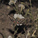 Фото 86: Опыление петунии