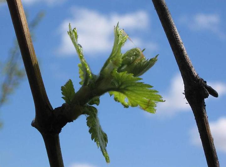 Ранневесенние работы с виноградом