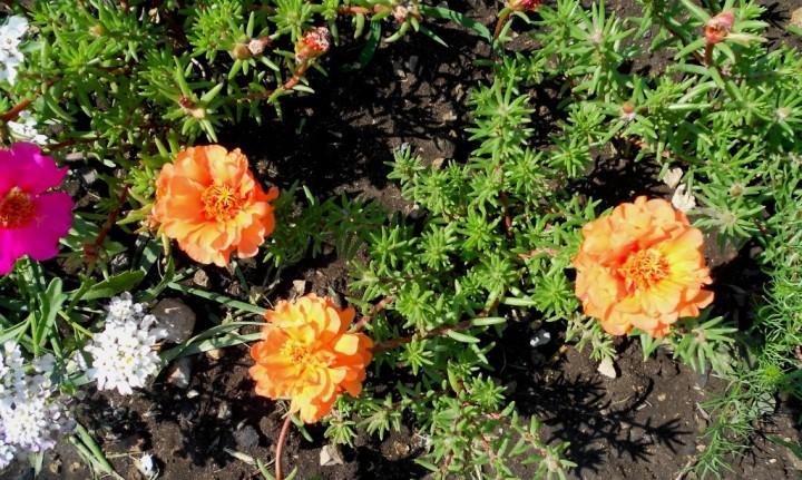 Портулак - красивое растение для клумбы или альпийской горки