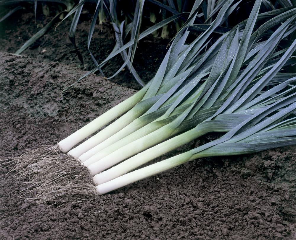 Выращивание лука – порея Голиаф