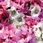 Фото 99: Godetia 'Pastel Posies Mixed'