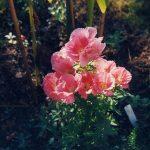 Фото 96: Godetia grandiflora 'Salmon Princess'