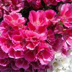 Фото 111: Годеция розовая изящная