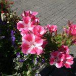 Фото 39: Выращивание годеции прелестной