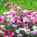 Фото 105: Годеция фото цветов
