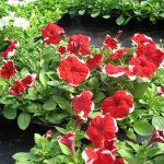 Фото 55: Крупноцветковая петуния Dreams Red Picotee