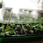 Фото 61: Мини-парник из пластикового контейнера для выращивания рассады петуний