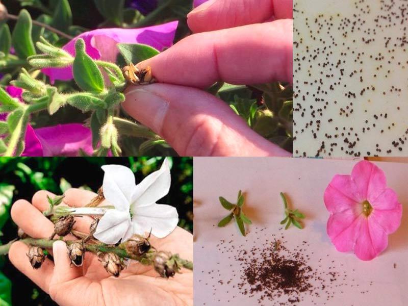 Сбор семян петунии