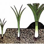 Фото 106: Схема выращивания лука–порея