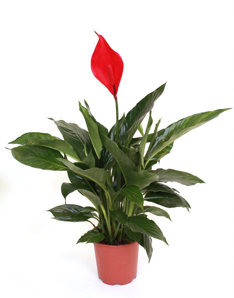 Цветок женское счастье красное фото как ухаживать