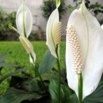 Фото 75: Цветение спатифиллума Муана Лоа