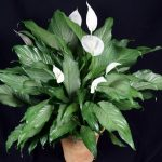 Фото 133: Spathiphyllum Platinum Mist