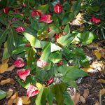 Фото 83: Spathiphyllum Red Peace Lily