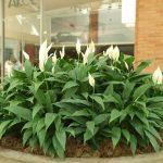 Фото 55: Озеленение спатифиллума сенсация
